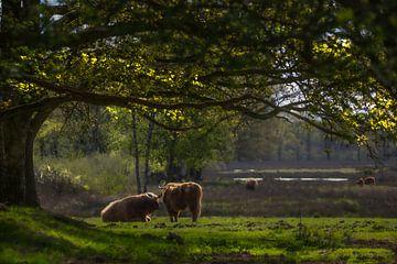 Schottische Hochlandbewohner von Arie Flokstra Natuurfotografie