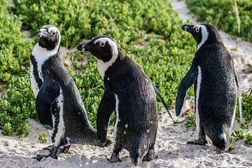 Afrikaanse pinguin van Sander RB