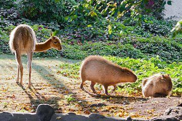Le lama et le capybara - symboles animaux de l'Amérique du Sud et de l'Amérique latine - paissent en sur Michael Semenov