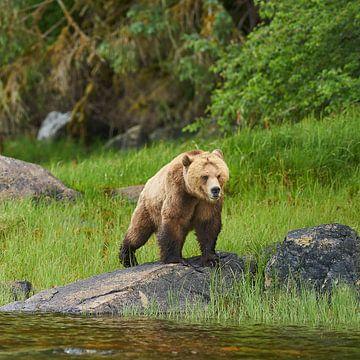 Grizzly sur Gerard Oonk