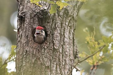 Hongerige jonge Grote Bonte Specht | Vogels van Zuid-Kennemerland