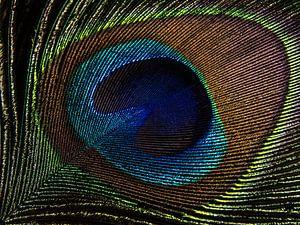 Pauwenveer in het licht (close-up)