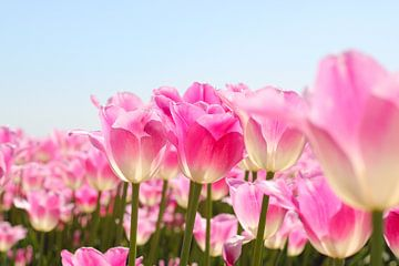 Voorjaar in kleur | tulpenveld van Nathalie Villier