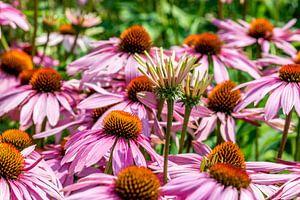 Een veld rose paarse zonnehoedjes ofwel echinacea purpurea van
