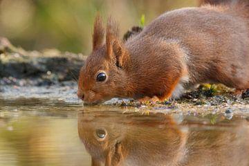 Eichhörnchen trinkt Wasser von einem Heidesee von Arjan van de Logt
