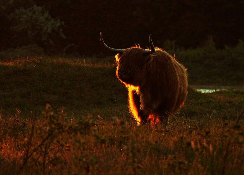 Schotse Hooglander in laatste avondlicht van Peter Zwitser