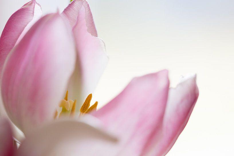Close-up van zachtroze tulp van Eus Nieuwenhuizen