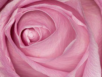 rosa Rose von Klaartje Majoor