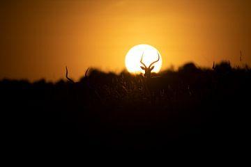 Impala in zonsondergang van Marco Verstraaten