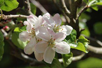Appelbloesem van Heleen Harmsen