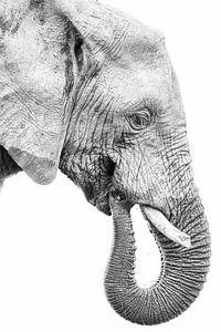 Jonge olifant in profiel, zwart wit