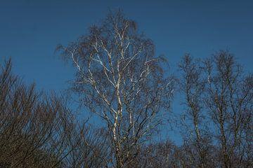 Witte berken tegen een strak blauwe lucht van