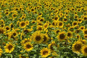 Sonnenblumenfeld in Frankreich von Anja B. Schäfer