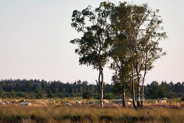 Schafherde in der Strabrechtse Heide von Ger Beekes