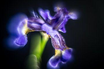 Iris, een bijna buitenaards gevormde bloem, bijna surrealistisch van Gerry van Roosmalen