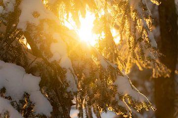 Besneeuwde dennentak beschenen door de ondergaande zon van André Post