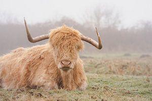 Schotse hooglander in de mist in Nederland