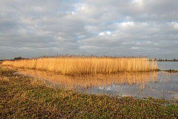 Vergeeld riet in het Nederlands Nationaal Park De Biesbosch van Ruud Morijn