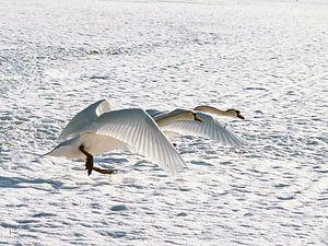 Zwanen in de sneeuw