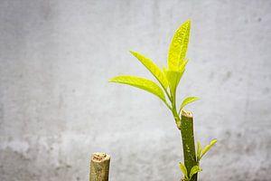 Brugmansia bladeren en takken