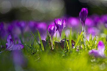 Voorjaar in het Wilhelminapark Breda van Tom Hengst