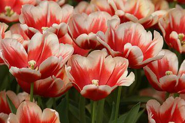 tulpen von Remko van der Hoek- Zijdemans