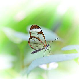 Papillon sur Willem  Bentink