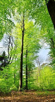 Frühlingsgrün im Buchenwald von Corinne Welp