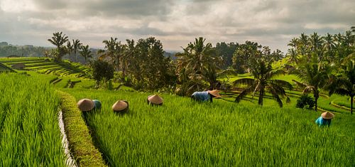 Panorama van arbeiders in rijstveld Bali