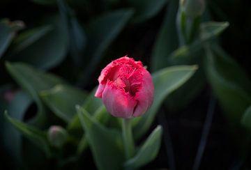 Tulp in de knop van Egon Zitter