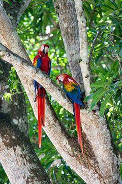 Papegaaien in een boom in Costa Rica van Kevin Pluk
