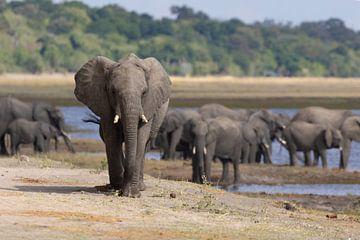 Elefanten des Chobe von GoWildGoNaturepictures