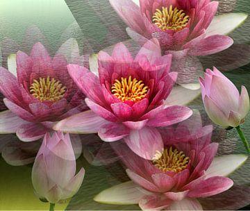 Impressionen einer Lotusblüte van