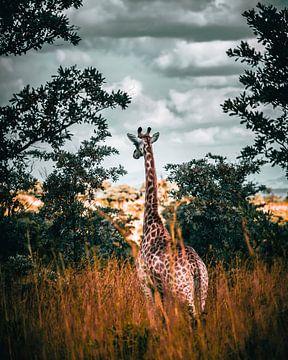 Girafe dans le parc Kruger, Afrique du Sud sur Harmen van der Vaart