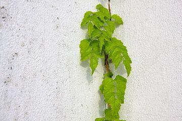 Blauweregen plant klimt gepleisterde muur van Jan Brons