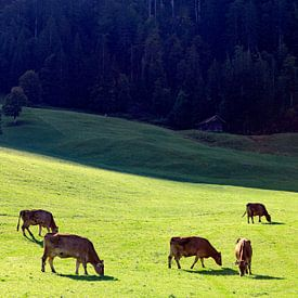 Grazende koeien in het Kleinwalsertal (A) sur Ludo Verhoeven