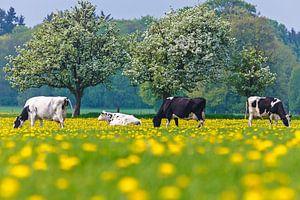 Hollandse koeien tussen de paardenbloemen