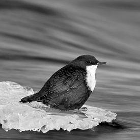 Wasseramsel im Winter auf einem Eisstück in einem fliessenden Bach sitzend von AGAMI Photo Agency