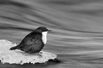 Wasseramsel im Winter auf einem Eisstück in einem fliessenden Bach sitzend