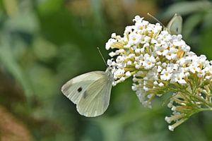 Chou blanc sur buisson à papillons