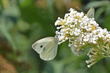 Koolwitje op vlinderstruik van Daphne van der straaten