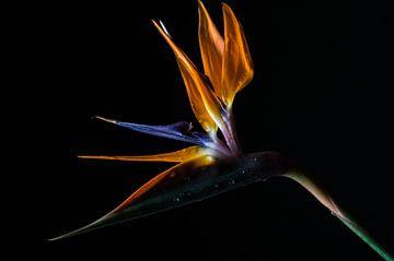 Paradijsvogelbloem sur Pepijn Sonderen