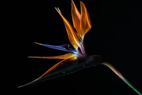Paradijsvogelbloem van