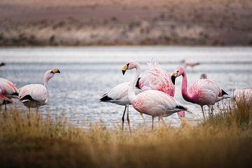 Flamingo's in Bolivia van Jelmer Laernoes