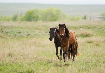 Paarden in Kazachstan sur jaap van der kooij