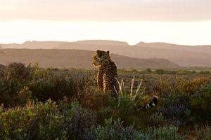 Cheetah, gazing at the sundown van