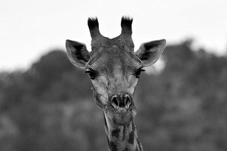 Giraffe in zwart-wit