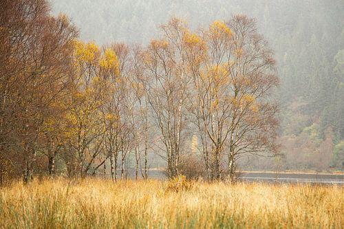 Berkenbomen in de herfst