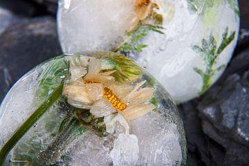 Rhodanthemum in kristalhelder ijs 1 van Marc Heiligenstein