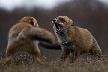 Rotfuchs ( Vulpes vulpes ), zwei Füchse liefern sich eine ernsthafte Auseinandersetzung, Kampf, Stre von wunderbare Erde